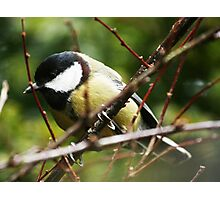 Yellow Tit in Sewerby Hall Grounds  Photographic Print