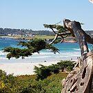 California Cypress by Fran0723