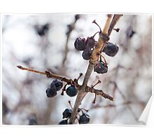 Winter Berries Poster