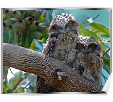 Tawny Frogmouth Babies Poster
