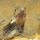 Frilled neck lizard, Australia by Martina Nicolls