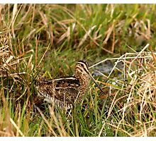 Common Snipe Photographic Print