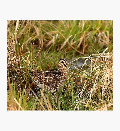 Common Snipe Photographic Print
