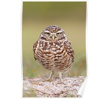 Burrowing Owl looking unimpressed. Poster