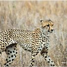A MOMENT IN TIME - THE CHEETAH by Magriet Meintjes
