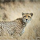 A MOMENT IN TIME - THE CHEETAH - Acinonyx jubatus by Magriet Meintjes