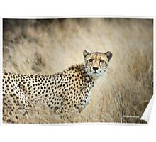 A MOMENT IN TIME - THE CHEETAH - Acinonyx jubatus Poster