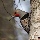 Northern Flicker by jasonsax