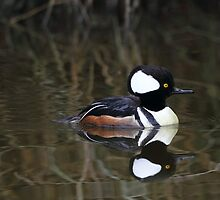 Hooded Merganser- Male by jasonsax