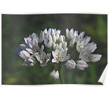 Allium Neapolitanum Poster
