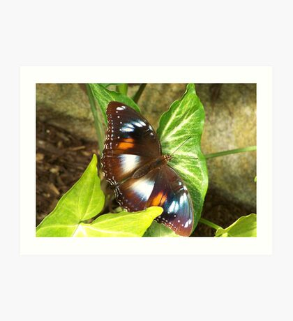 Butterfly on a Syngonium podophyllum Art Print