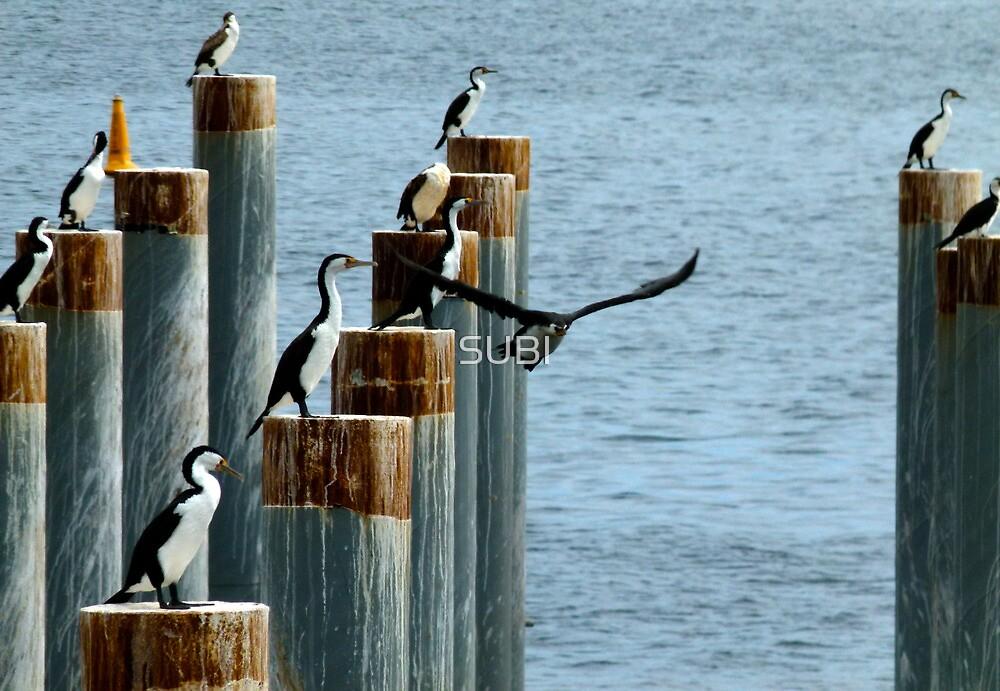 cormorants convention by SUBI