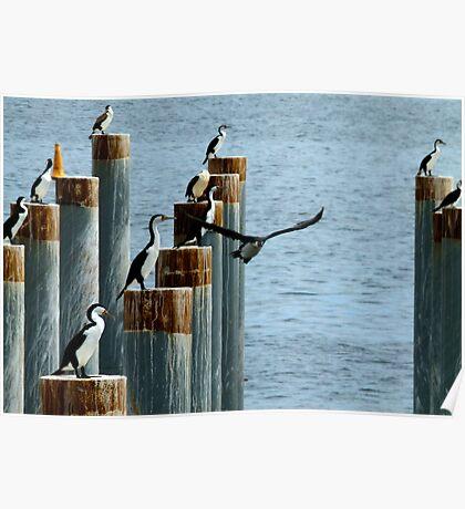 cormorants convention Poster