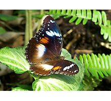 Butterfly on Syngonium leaf Photographic Print
