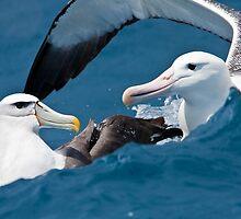 Albatross Hug by Kimball Chen
