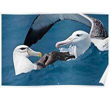 Albatross Hug Poster