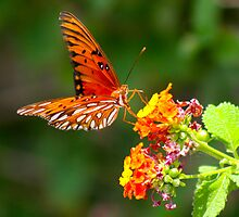Gulf Fritillary by Fred Barber