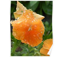 Raindrops on a Salmon Pansy Poster