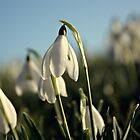 Snowdrops #2 by Julesrules