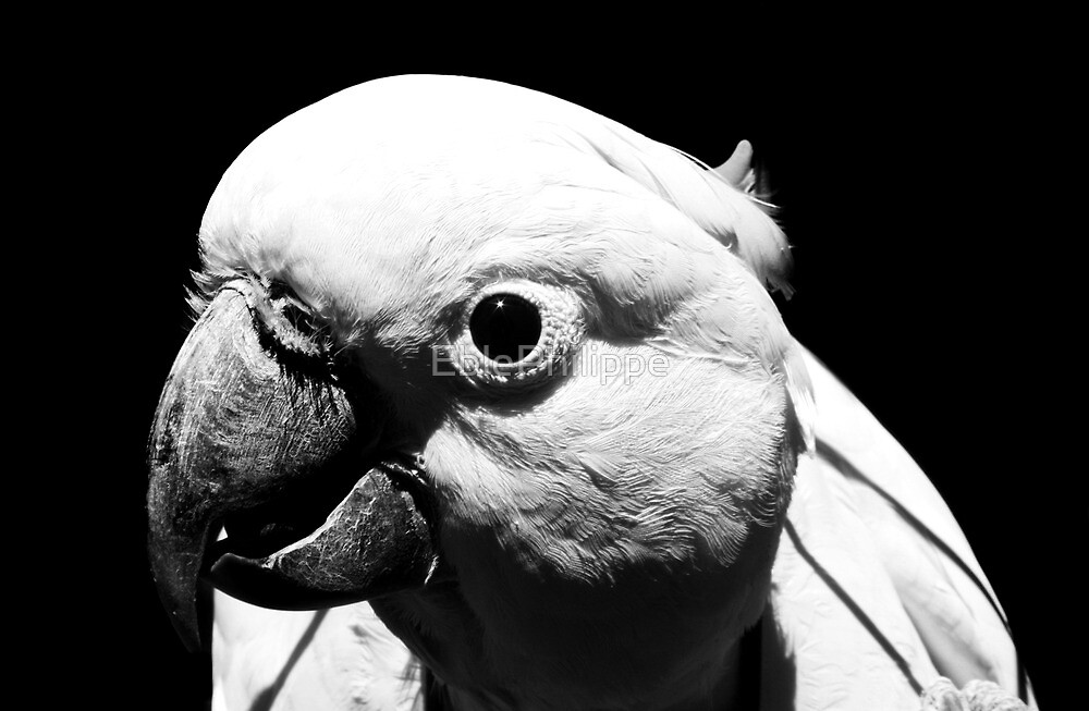 Cockatoo  by EblePhilippe
