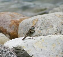 Chipping Sparrow by Alyce Taylor