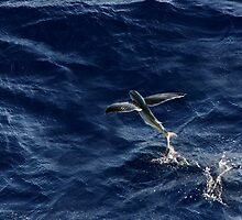 Flying Fish by Rob Lavoie