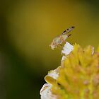 3mm Fruit Fly by Macky