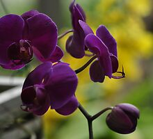 Purple Orchids, As Is by Kim McClain Gregal