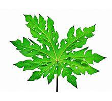Knockedout Papaya Leaf  Photographic Print