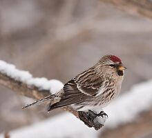 Common Redpoll by Benjamin Brauer