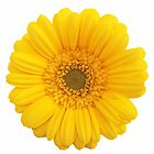 Gerbera Daisy - yellow by Charlotte Stevens