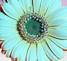Blue Gerbera - UK553/08 - www.lizgarnett.com by Liz Garnett