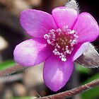 First Hepatica of the season  by The Creative Minds