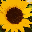 burning sunflower by Ilapin