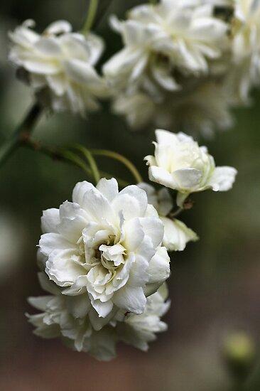 White in Bloom by Joy Watson