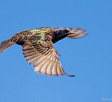European Starling by PixlPixi