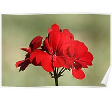 Red flower 0517 Poster