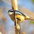 Red-breasted Nuthatch by Dana Fazzino