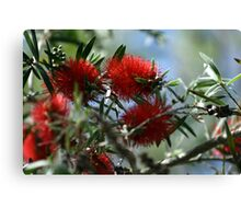 Bottle Brush Blooms Canvas Print