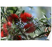 Bottle Brush Blooms Poster