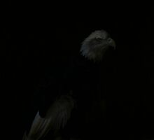 Siskiyou the Bald Eagle by rtofirefly
