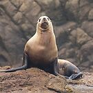 Steller Sea Lion by Anthony Brewer