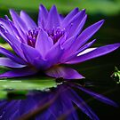 water lily, profile from water level by Gerry Daniel