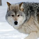 Montana 2 - Female Gray Wolf, by Sue Ratcliffe