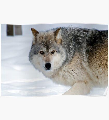 Montana 2 - Female Gray Wolf, Poster