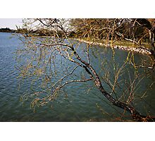Willows Over the Lake Photographic Print
