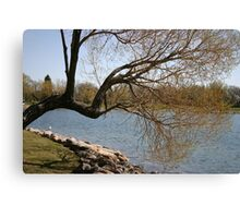 Reaching Willow Canvas Print