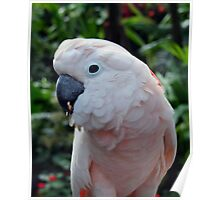 Pink Cockatoo,  Poster