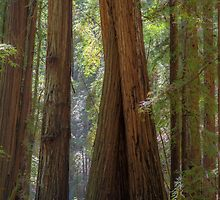 Redwood Lean by FollowPhoto