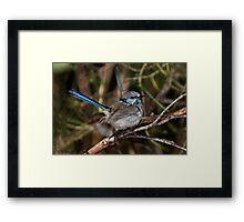 Pair of Fairy Wrens Framed Print